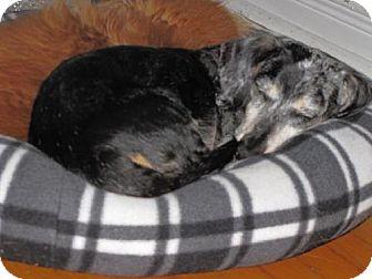 Dachshund Dog for adoption in Toronto, Ontario - Oscar