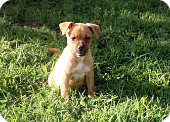 Terrier (Unknown Type, Small) Mix Puppy for adoption in Brattleboro, Vermont - PUPPY MONICA