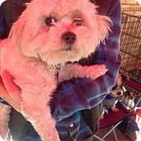 Adopt A Pet :: Daphne - North Hollywood, CA