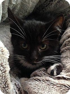 Domestic Shorthair Kitten for adoption in Tampa, Florida - Jasper