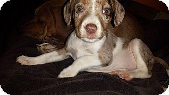 Anatolian Shepherd/Brittany Mix Puppy for adoption in Lima, Pennsylvania - Frank
