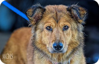 Chow Chow/Collie Mix Dog for adoption in Martinsville, Indiana - Winona