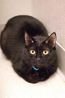 Domestic Shorthair Cat for adoption in Grayslake, Illinois - Mystikal