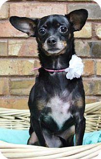 Chihuahua/Miniature Pinscher Mix Dog for adoption in Benbrook, Texas - Jojo