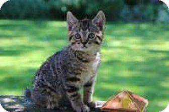 Domestic Shorthair Kitten for adoption in Bloomington, Minnesota - Lewis