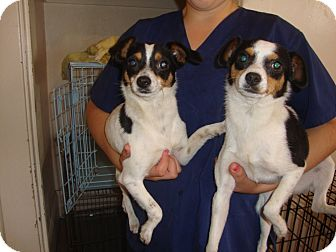 Rat Terrier/Terrier (Unknown Type, Small) Mix Dog for adoption in San Diego, California - Roberto and Roberta