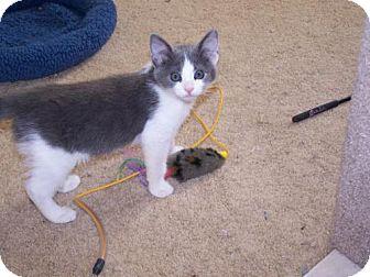 Domestic Shorthair Kitten for adoption in Walnut Creek, California - Kassi