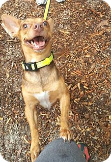 Chihuahua Mix Dog for adoption in Savannah, Georgia - Hondo