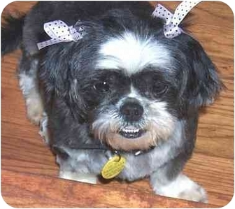 Shih Tzu Dog for adoption in Inman, South Carolina - Chelsea