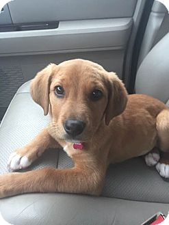 Labrador Retriever Mix Puppy for adoption in Memphis, Tennessee - Angel
