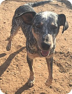 Blue Heeler/Labrador Retriever Mix Dog for adoption in East Hartford, Connecticut - King Henry pending adoption