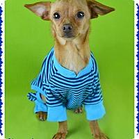 Adopt A Pet :: Chocolatee - Phoenix, AZ