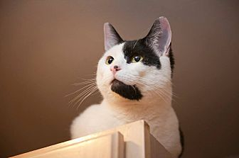 Domestic Shorthair Cat for adoption in Columbia, Maryland - Oreo