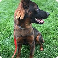Adopt A Pet :: BROWNIE - Littleton, CO