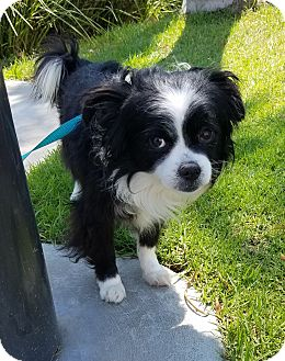Japanese Chin/Spaniel (Unknown Type) Mix Dog for adoption in Culver City, California - Checkers