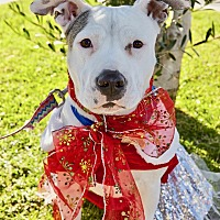 Adopt A Pet :: Adorable Gracie - Los Angeles, CA