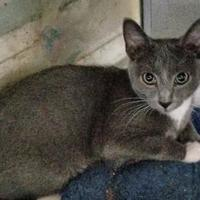 Domestic Shorthair/Domestic Shorthair Mix Cat for adoption in Baltimore, Maryland - Opie (Perry Hall)