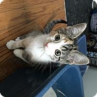 Adopt A Pet :: Linguine - Indianapolis, IN