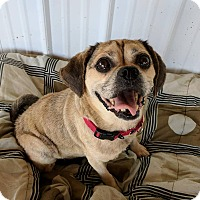 Pug/Beagle Mix Dog for adoption in Lisbon, Ohio - Molly