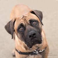 Mastiff Mix Dog for adoption in Indianapolis, Indiana - Harry
