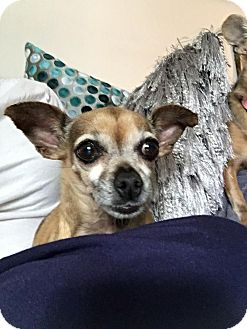 Chihuahua Mix Dog for adoption in Sylvan Lake, Michigan - Joy