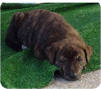German Shepherd Dog Mix Dog for adoption in Vista, California - Dylan
