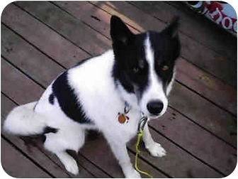 Siberian Husky Mix Dog for adoption in Montreal, Quebec - Sheba