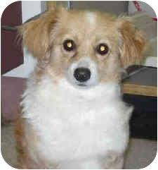 Papillon/Tibetan Spaniel Mix Dog for adoption in San Clemente, California - COOKIE