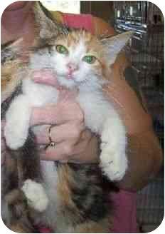 Calico Kitten for adoption in Baltimore, Maryland - Adelaide