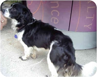 Border Collie/Spaniel (Unknown Type) Mix Puppy for adoption in Los Angeles, California - Chazz