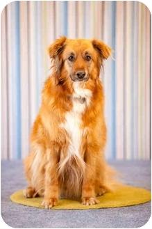 Golden Retriever/Collie Mix Dog for adoption in Portland, Oregon - Jack