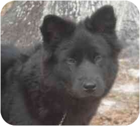 Chow Chow Mix Dog for adoption in Kingwood, Texas - China
