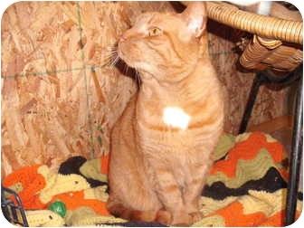 Domestic Shorthair Cat for adoption in Morris, Pennsylvania - Sylvester