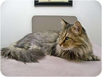Maine Coon Cat for adoption in Steilacoom, Washington - Catalina