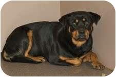 Rottweiler Mix Dog for adoption in Louisburg, North Carolina - Hannah