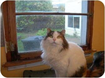 Domestic Longhair Cat for adoption in Santa Rosa, California - Diva
