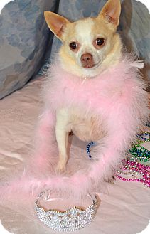 Chihuahua Dog for adoption in Bedford, Virginia - Prissy