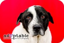 Border Collie Mix Dog for adoption in Okotoks, Alberta - Bailey