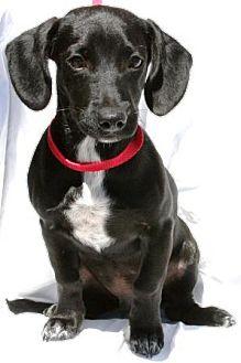 Dachshund/Labrador Retriever Mix Puppy for adoption in Gilbert, Arizona - Babu