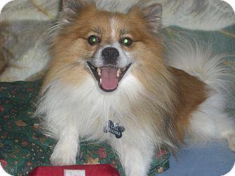 American Eskimo Dog/Pomeranian Mix Dog for adoption in Mahopac, New York - HAPPY