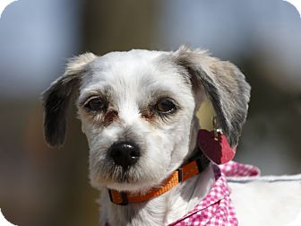 Schnauzer (Miniature)/Poodle (Miniature) Mix Dog for adoption in Ile-Perrot, Quebec - Tiffany