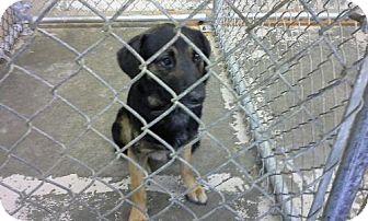 Hound (Unknown Type)/German Shepherd Dog Mix Dog for adoption in Malvern, Arkansas - Roger