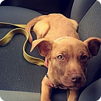 Adopt A Pet :: Buffy - Chicago, IL