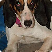 Adopt A Pet :: Shannon - Leesburg, VA