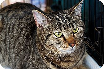 Domestic Shorthair Cat for adoption in Columbus, Ohio - Tarragon