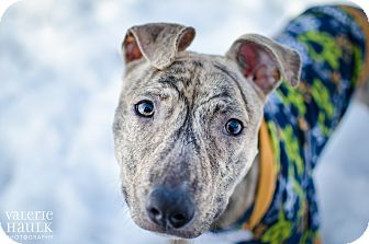 American Staffordshire Terrier Mix Dog for adoption in Dublin, Ohio - Rascal