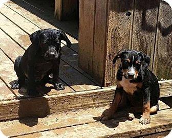 English Bulldog/Labrador Retriever Mix Puppy for adoption in East Hartford, Connecticut - Athena Adoption pending