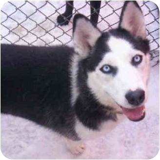 Siberian Husky Dog for adoption in Various Locations, Indiana - Allie