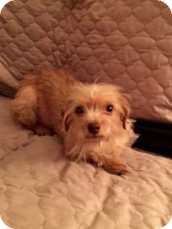 Terrier (Unknown Type, Small)/Poodle (Toy or Tea Cup) Mix Dog for adoption in Beavercreek, Ohio - GiGi