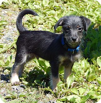 Yorkie, Yorkshire Terrier/Terrier (Unknown Type, Small) Mix Puppy for adoption in Burlington, Vermont - Jimmy(3 lb) BIG Personality!